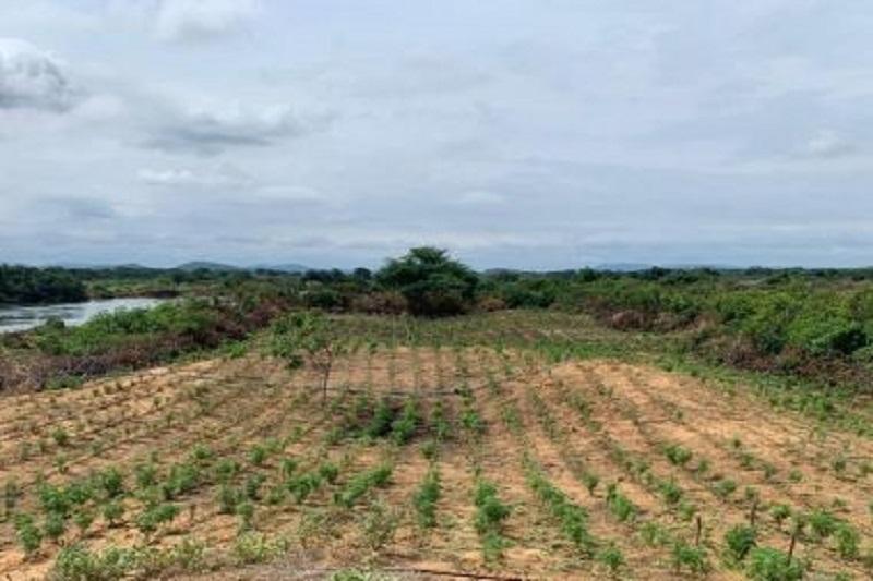 Bahia: Roças com 120 mil pés de maconha são descobertas em Curaçá